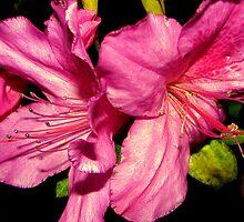 Azalea Pink by DottieDees