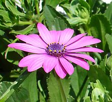 Purple Osteospermum Against Green Leaves by taiche