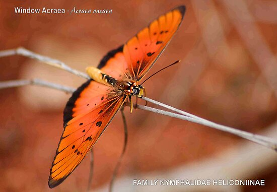 BUTTERFLY SERIES - Lycus Acreae by Magaret Meintjes