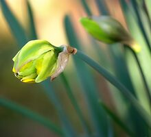 Daffodil 3 by Amy Goode