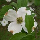Flowering Dogwood Tree by Terri Chandler