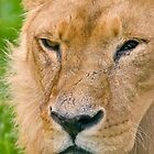 African Lion by RHarbron