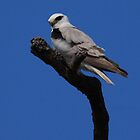 Black-shouldered Kite. by Norman Winkworth