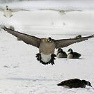 Wingspan by janetlee
