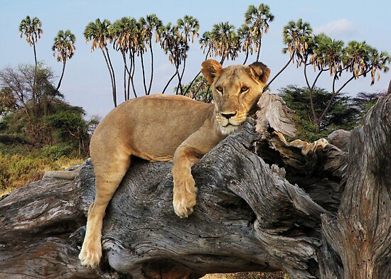 TREE CLIMBING LION - KENYA by Michael Sheridan