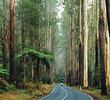 Black Spur, Yarra Ranges, Victoria. by Ern Mainka