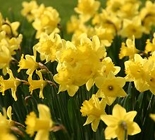 Host of Golden Daffodils by Martina Fagan