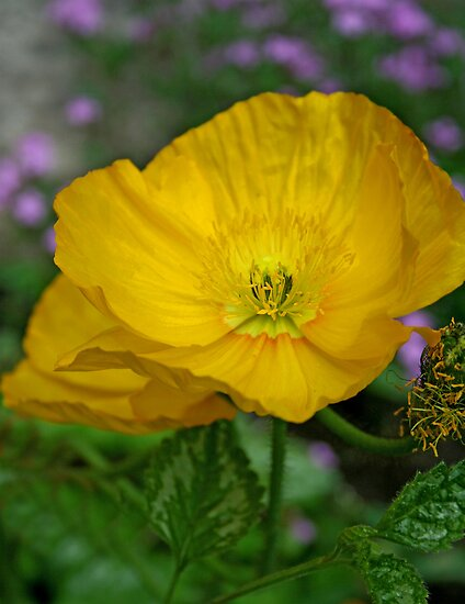 Yellow Poppy by Vickie Emms
