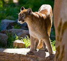 Cougar by GRACE COSTA