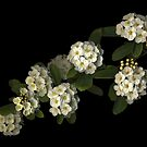 Spirea by TheWalkerTouch