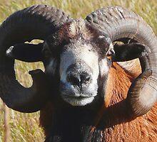 Wild Sheep by MaeBelle