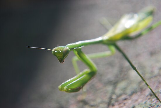 Praying Mantis by Julie Sherlock