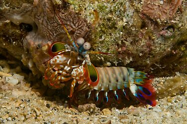Mantis Shrimp by Erik Schlogl