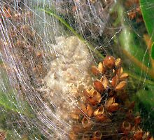 spider silk with eggs by polz