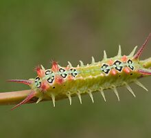 Cup Moth Caterpillar by Andrew Trevor-Jones