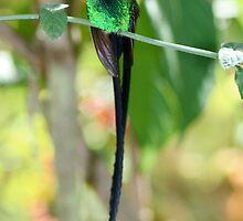 Jamaican Streamertail Hummingbird by patti4glory