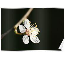 Mirabelle Blossom Poster