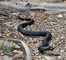 Tiger snake on Arm River Track, Tasmania by tasadam