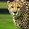 Cheetah - Face to Face - 9460 Views by Stephen Beattie