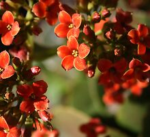 Reaching For The Light - Red Flowers by ermisenda