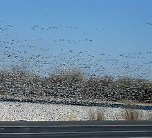 Flock of Snow Geese by CynLynn