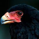 Bateleur Eagle by Bobby McLeod