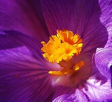 Spring Glows Bright  in a Saffron Crocus  by Chuck Gardner