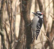 Downy Woodpecker Perched in a Bush by Laurel Talabere