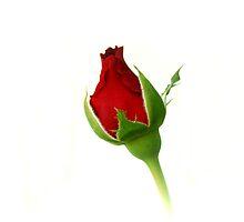 Red Rosebud Opening by Sandy Keeton
