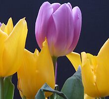 Tulips by Sandra Mangnall