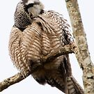 Northern Hawk Owl: Lost on Vancouver Island by David Friederich