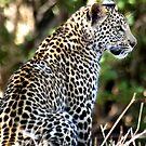 PATIENCE... The Leopard - panthera pardus - Luiperd by Magaret Meintjes
