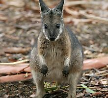 Tammar Wallaby by LeeoPhotography