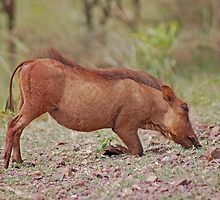 Warthog by laureenr