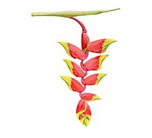 Heliconia Branch Photographic Print