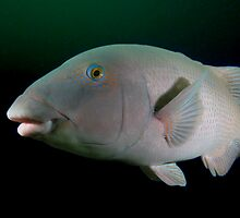 Blue wrasse by Andrew Newton