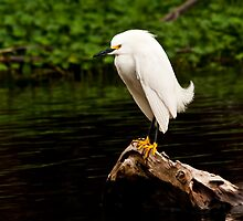 High Breeding Snowy Egret by Albert Dickson