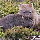Wombats in the wild, Tasmania by tasadam