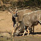 Nyala Males by Vickie Burt