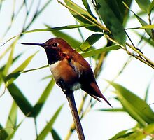 Rufous Hummingbirds Arrive on Schedule    by Chuck Gardner