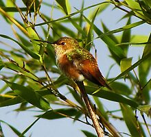 Female Rufous Hummingbird in a Bamboo Tree by Chuck Gardner
