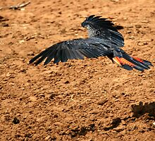Red-tailed Black Cockatoo by Stuart Cooney