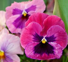 Pink Pansies by Caren