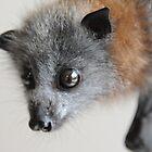 Australian Infant Grey Fruit Bat by ivanwillsau