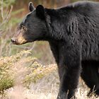 Black Bear - In The Wild by Barbara Burkhardt