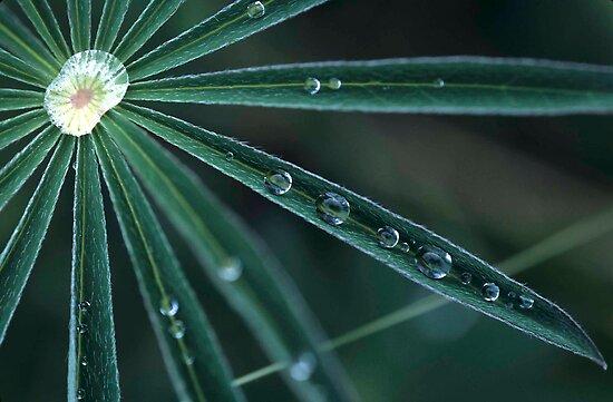 Dew on Lupine, Maine by Alana Ranney