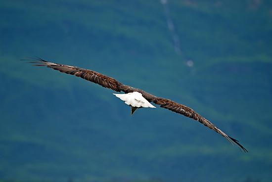 Bald Eagle Fly By by Barbara Burkhardt