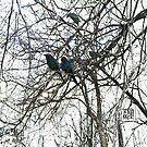 Blackbirds by EricLHansen