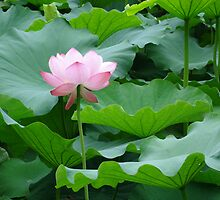 Japanese Water Lily by Andy Smith