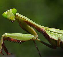Green praying mantis by Susan Kelly